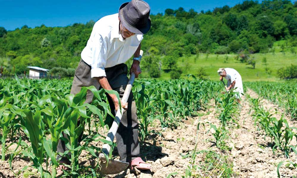 Campesino agricultor cosechan chacra